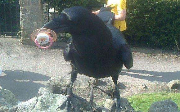 В Великобритании ворона Иззи наказали за воровство телефонов
