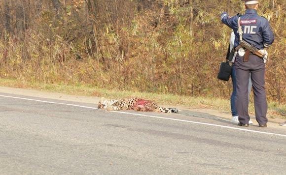 Погибший в Приморье леопард оказался «крестником» Ильи Лагутенко