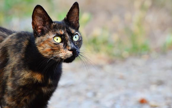 Ученые: кошки черепаховой расцветки наиболее агрессивны