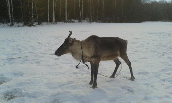 В Екатеринбурге похитили оленя Деда Мороза