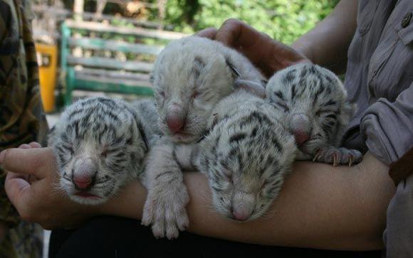 В зоопарке Ялты умер второй бенгальский тигренок