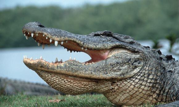 Во Флориде аллигатор убил прятавшегося в озере грабителя
