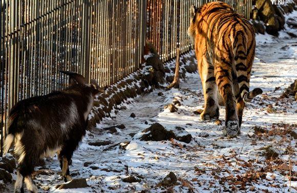 Жизнь козла Тимура и тигра Амура превратят в реалити-шоу