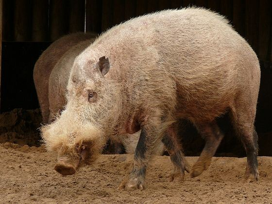 Bearded pig has strange and comical appearance