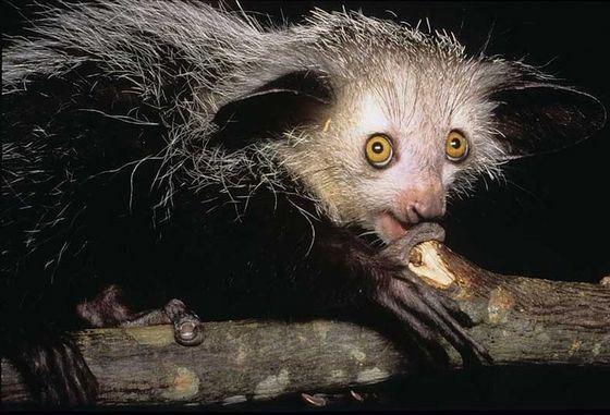 Мадагаскарская руконожка ай-ай весьма необычное животное
