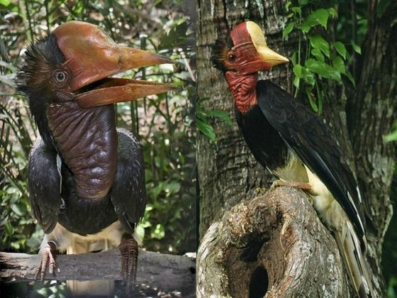 Helmet-eyed hornbill - an exotic bird with an unusual head