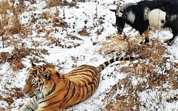 Козел Тимур за время дружбы с тигром Амуром прибавил в весе