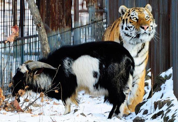 Козел Тимур прогнал Амура из его убежища во время снегопада