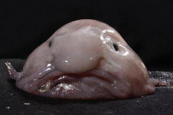 Рыба-капля - необычный обитатель океанских глубин