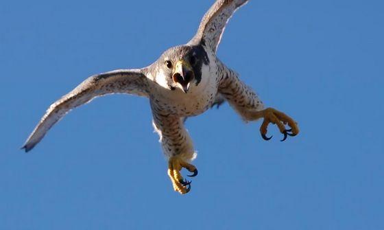 Сокол-сапсан самая быстрая птица