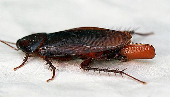 Американский таракан - самое быстро бегающее насекомое