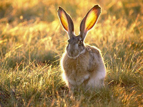 Огромные уши американского зайца
