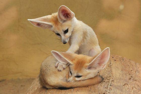 Фенек - милое животное с большими ушами