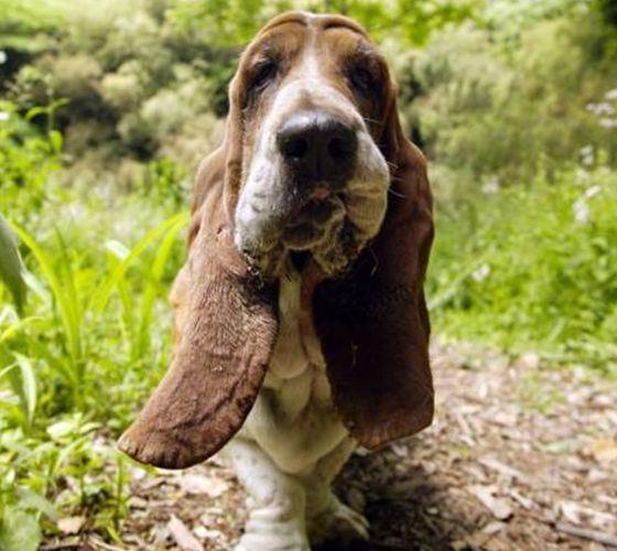 Бассет-хаунд - собаки с самыми большими ушами