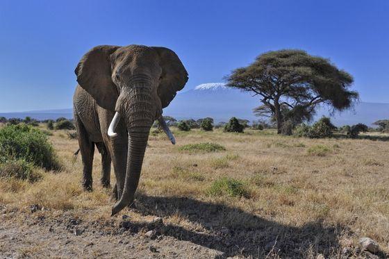 Африканский слон - обладатель самых больший ушей на планете