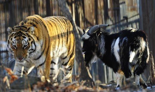 На сайте Приморского сафари-парка началась прямая трансляция жизни Амура и Тимура