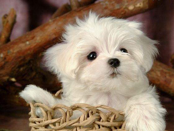 Эта дорогая порода собак имеет второе название - левхен