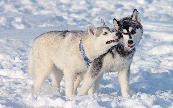 Канадские эскимосские собаки стоят очень дорого