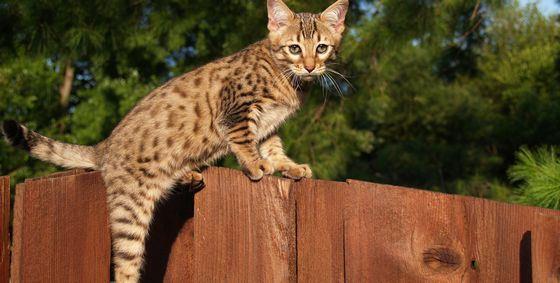 Дорогие питомцы - кошки порода саванна