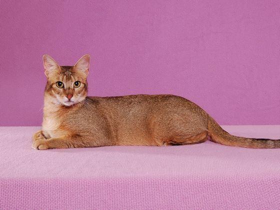 Чаузи - редкая и дорогая порода кошек