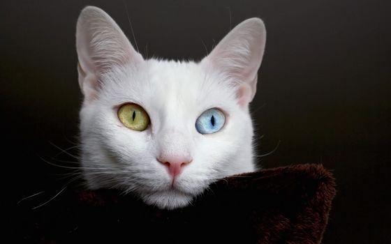 У этой редкой породы кошек глаза бывают разного цвета