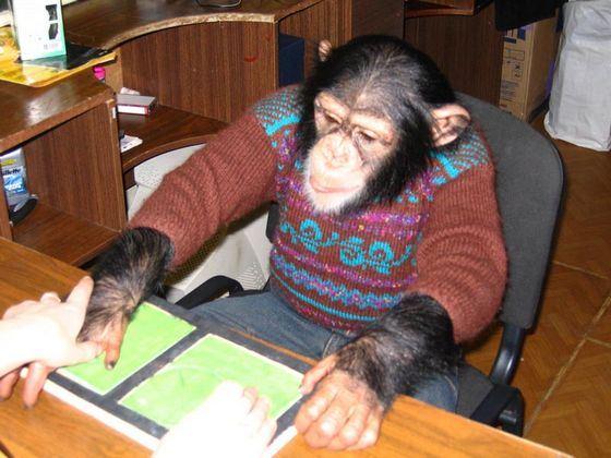 Шимпанзе иногда держат дома как питомца