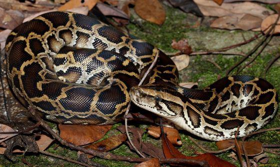 Тигровый питон - одна из самых дорогих змей, которых содержат в неволе