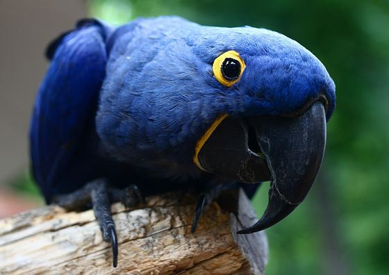 Геоцинтовый аро - самый дорогой попугай