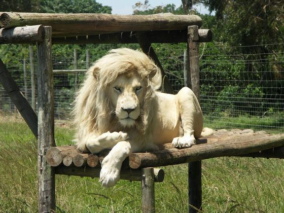 Домашний белый лев - самый дорогой питомец