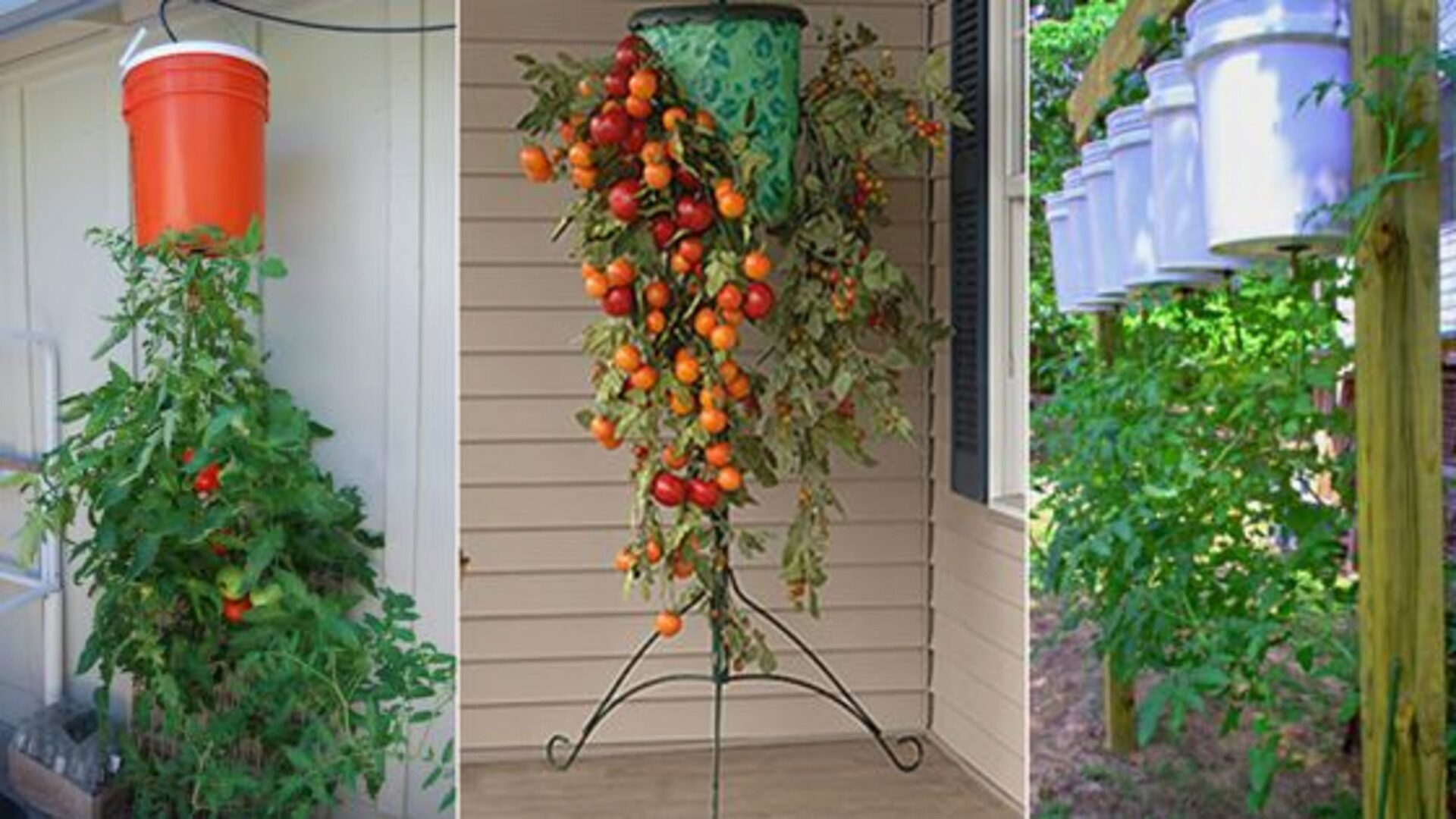 The original way of growing tomatoes
