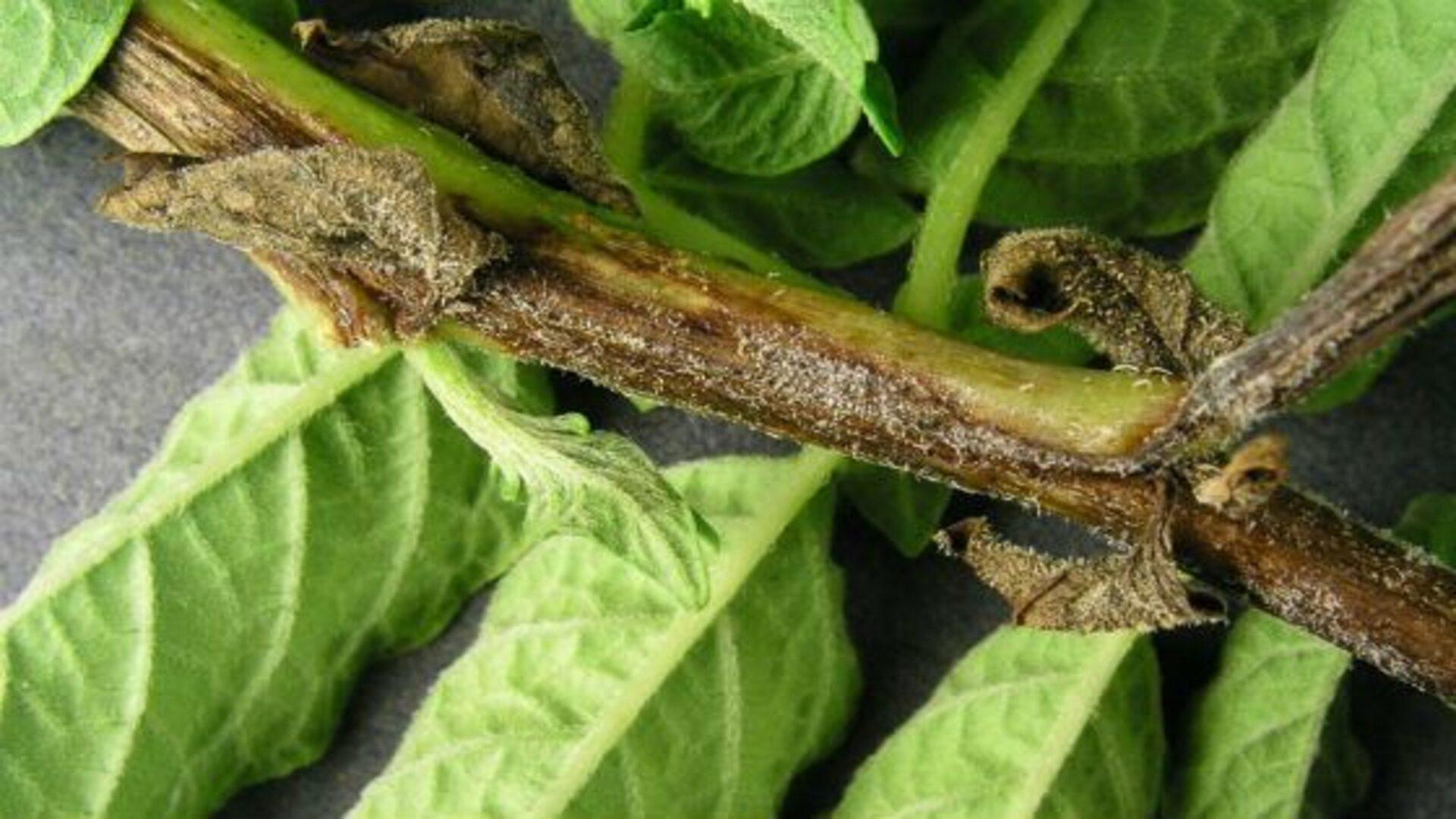 Фитофтороз может поразить весь куст, включая клубни