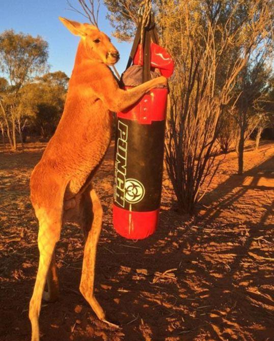 Австралийский кенгуру-качок Роджер