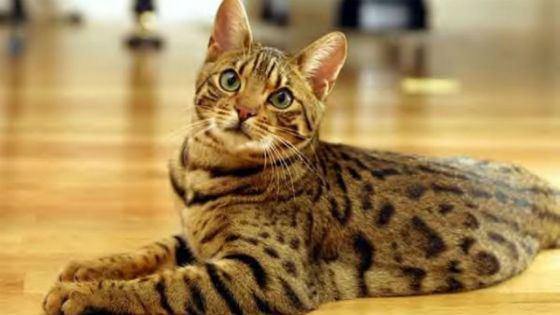 Разгромивший магазин в Шереметьево кот оказался породистым