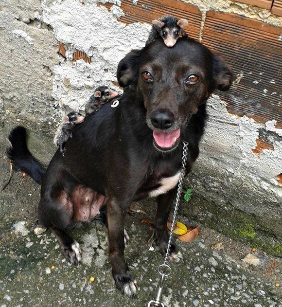 В Бразилии собака стала матерью пятерым осиротевшим опоссумам