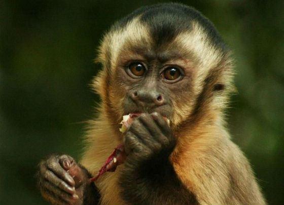 Пьяная и вооруженная обезьяна устроила в баре дебош