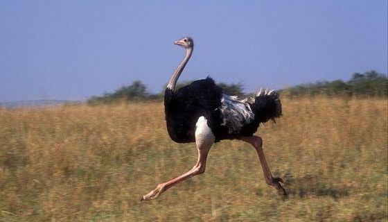 Когда самая быстрая птица бежит, то ее шаг равен четырем метрам