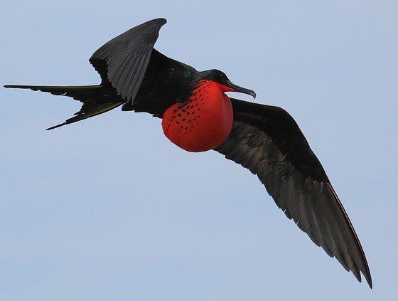 Птица фрегат в полете