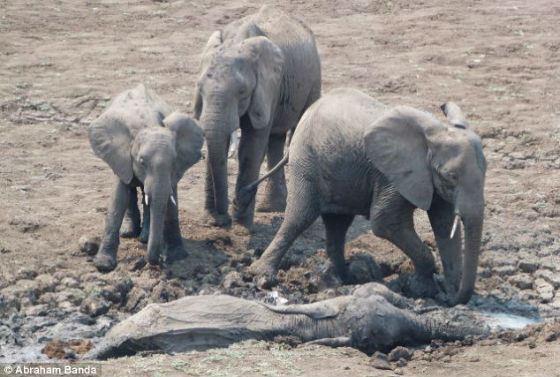 Слоны остро переживают смерть близких