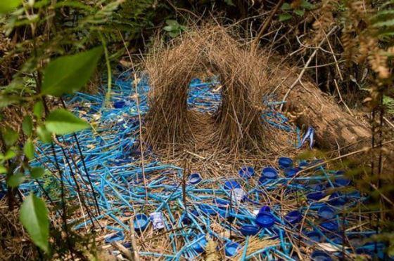 Шалашники комбинируют украшения для гнезда по цвету