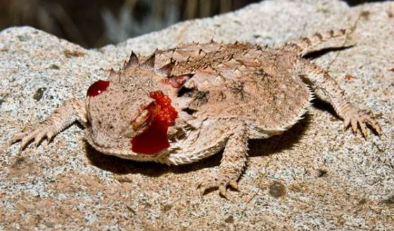 Жабовидная ящерица стреляет кровью из глаз