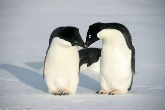 Так пингвины Адели делают предложение самке
