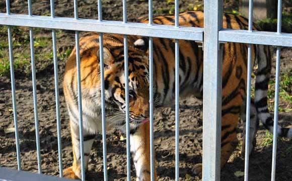 Школьницы пробрались в зоопарк Барнаула, чтобы сфотографироваться с тигром