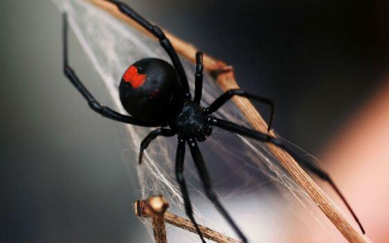 Красноспинный паук за плетением паутины