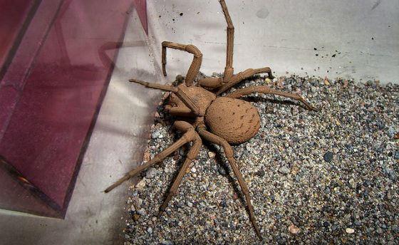 Яд шестиглазого песочного паука имеет весьма оригинальный эффект