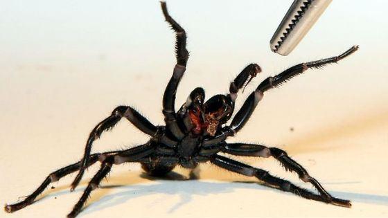 Смертельно ядовитый сиднейский воронковый паук