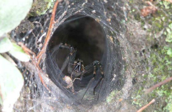 Он плетет паутину в форме воронки – отсюда и название