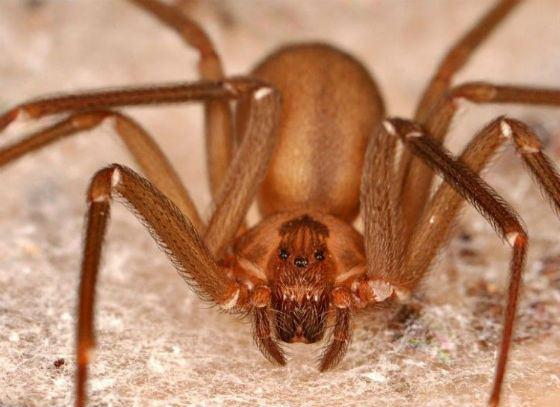 Скрипичный паук выглядит неказисто, но пусть внешность вас не обманывает