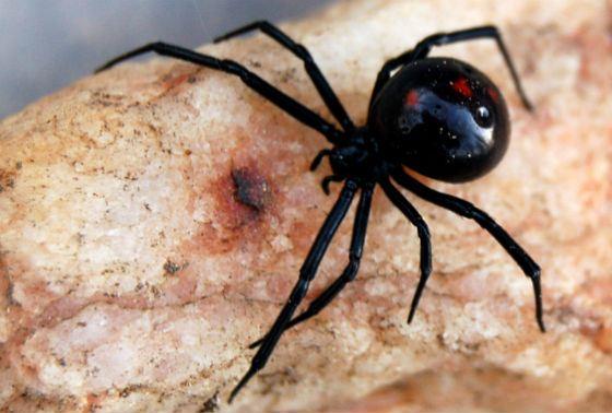 Североамериканская черная вдова – не самый ядовитый паук в мире