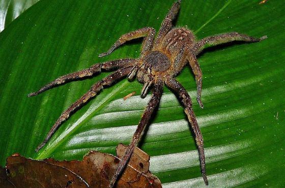 Бразильский странствующий паук не плетет паутину