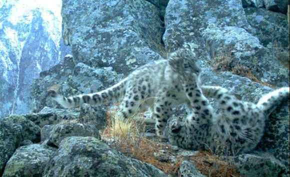 На Алтае самка барса сожрала своих котят из-за браконьеров